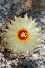 Astrophytum Senile - Ziegenhorn Kaktus - 25 Frische Samen