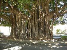 Banyan  Fig (Ficus benghalensis) 100  Seeds