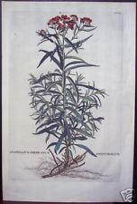 """Abraham Munting: """"Gnaphalium Americanum,"""" 1727"""