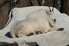 Mountain Goat Taxidermy Reference Photo Cd