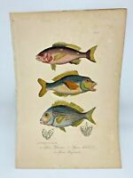 Fish Plate 87 Lacepede 1832 Hand Colored Natural History
