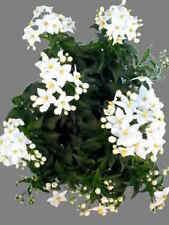 Echter Jasmin - Gardenia Jasminoides Ellis - 20 Frische Samen