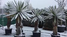 Yucca faxoniana (carnerosana) 'Giant Spanish Dagger' Hardy zone 5! Seeds