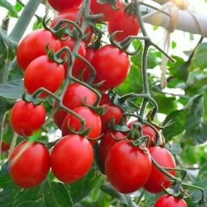 Tomato- Principe Borghese, 50 seeds | TSC: Heirloom & OP seeds, non-GMO, Untreat