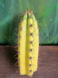 Tricho Bridgesii x Validus Variegated Collectors Cactus plant 🌵