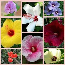100Pcs Hibiscus Seeds Flowers 10 Kinds Lovely Bonsai Wonderful Tender Perennial