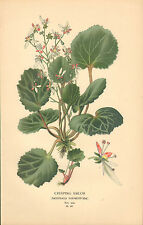 1890s print : favourite flowers by edward step : creeping sailor