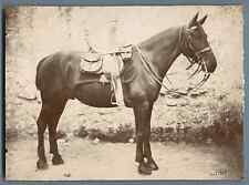 Cheval sellé Vintage citrate print.  Tirage citrate  12x17  Circa 1897  <d
