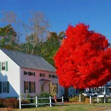 Autumn Blaze Red Maple Tree, 20 Seeds, clearly superior tree seeds