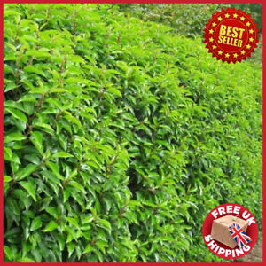 All Season Prunus lusitanica Evergreen Portuguese Laurel Hedging 4 - 5 feet tall