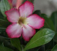 Adenium Obesum ~ Desert Rose ~ PINK ~ Live Starter Plant