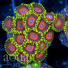 New listing Asd - 073 Warriors Shields Zoanthids (4) - Wysiwyg - Aqua Sd Live Coral Frag