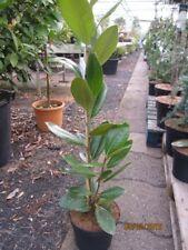 Immergrüne Magnolie Francois Tryve - Magnolia grandiflora Francois Tryve