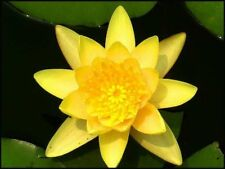 10pcs Yellow Lotus Seeds Aquatic plants Water Lilly nice fragrance Out door Pond