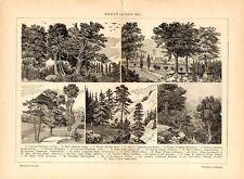 Stampa antica botanica ALBERI del BOSCO castano pino larice noce 1910 Old print