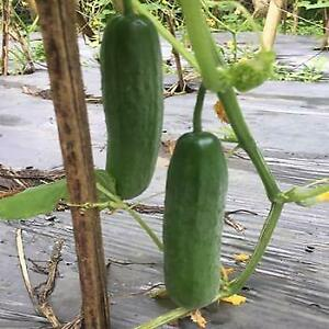Cucumber -  F1 Beit Alpha - 25 Seeds