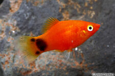 Mickey Mouse Platy Freshwater Young Fish