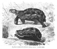 GEZÄHNELTE GELENKSCHILDKRÖTE Kinixys erosa  Stich  1892 Schildkröte G. Münzel