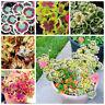 20 Pcs Rare Perennial Flower Pelargonium Peltatum Seeds Japan Geranium Seeds Ind