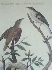 1827 Cornelius Nozeman Amsterdam Turdus Arundinaceus Мinimus Engraving VERY RARE