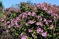 4 graines PELARGONIUM EN ARBRE(P. cucullatum ssp cuc.)N03 TREE PELARGONIUM SEEDS