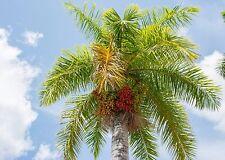 eine wunderschöne Palme mit weißem Stamm: die tolle Königspalme - königlich !