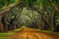 Oaks on Plantation Road Photo Art Print Mural inch Poster 36x54 inch