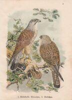 Turmfalke Falco tinnunculus Chromolithographie um 1900 Falken Falcon Falk