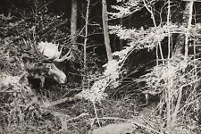 1934 Vintage Print 11x14 ~ CANADA ~ Forest Wilderness Moose Livestock Photo Art