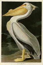 American White Pelican Audubon Vintage Giclee Canvas Print 27x40