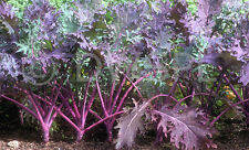 ~200 USDA Organic Red Russian Kale seeds 1 gram net USA Brassica napus pabularia