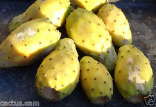 50 Yellow Prickly Pear Opuntia ficus indica Seeds, Nopalea, Paddle Cactus Fruits