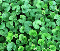 DICHONDRA GROUND COVER Dichondra Repens - 3,000 Bulk Seeds