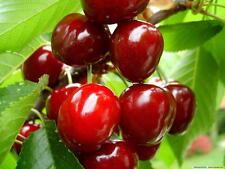 Juicy Cherry Tree 🍒 Prunus avium 🍒 5-Finest  Seeds🍒Delicious Fruit🍒UK Seller