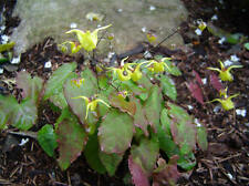Epimedium davidii perennial plant ground cover any aspect 9cm pot