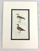 1841 Antico Uccello Stampa Kentish Plover Vecchio Mano Colorato Incisione