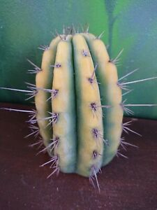 Tricho Peruvianus Full Variegated Collectors Corner Clone Not China Cactus 🌵