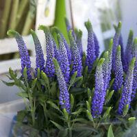 Schneckenresistente Pflanze - ein schöner Farbtupfer im Blumenbeet - Ehrenpreis
