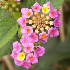 100Pcs Lantana Camara Seeds Garden Ornamental Plants Rare Perennial Herb Bonsai