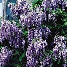 Chinese Blue Wisteria - Fragrant Flowering Vine Tree w/ Fertilizer 2 Pack