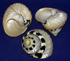 "(1) Polished Magpie Pica Ribbed Turbo Shells~2""- 2-1/4""~Craft Seashell"
