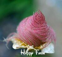 100 seeds/bag Prairie Smoke seed bonsai potted rare flower plants for Home & Gar