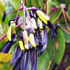 BLACK KENNEDIA SEEDS KENNEDIA NIGRICANS FLOWERING CLIMBER 10 SEED PACK