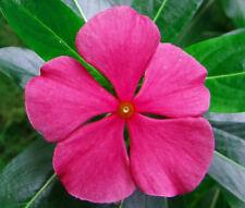 PERIWINKLE DWARF ROSE LITTLE LINDA Catharanthus Roseus - 250 Bulk Seeds