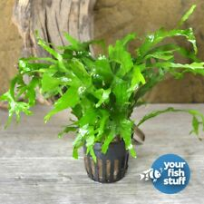 Java Fern' Thor's Hammer' Microsorum pteropus Potted Live Aquarium Plants