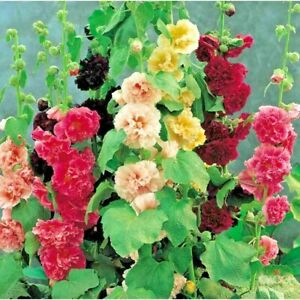 Seeds Hollyhock Mallow Chaters Strain Bouquet Mix Terry Flower Garden Outdoor