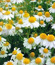 Chamomile Perennial Herb seed 100 seeds camomile ground apple whig plant spice