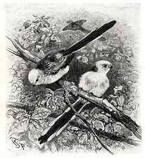 C4335 Codibugnolo testa bianca_Aegithalos caudatus - Xilografia - 1929 engraving