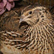 Fertile Jumbo Coturnix Quail hatching eggs (FREE SHIPPING) 25+ SHIPPED IN FOAM