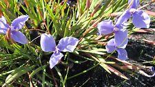 Patersonia fragilis - Native Purple Iris 15 seeds